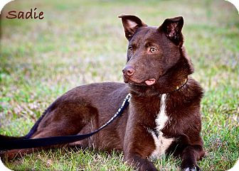 Labrador Retriever/Border Collie Mix Dog for adoption in Wilmington, Delaware - Sadie