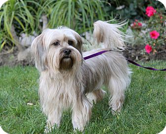 Silky Terrier Mix Dog for adoption in Newport Beach, California - MELODY
