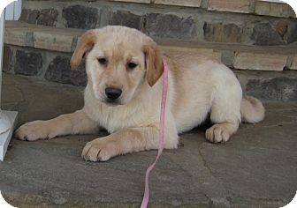 Labrador Retriever/Flat-Coated Retriever Mix Puppy for adoption in Marlborough, Massachusetts - Pearl