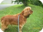 Cocker Spaniel Mix Dog for adoption in Allentown, Pennsylvania - Cypress