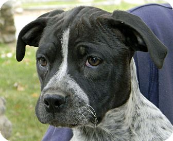 American Staffordshire Terrier Mix Puppy for adoption in Mountain Center, California - Sunshine