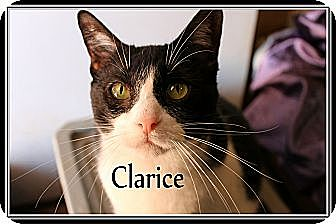 Domestic Shorthair Cat for adoption in Wichita Falls, Texas - Clarice