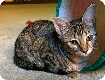 Domestic Shorthair Kitten for adoption in East Hartford, Connecticut - Tina in CT