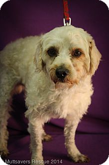 Poodle (Miniature) Mix Dog for adoption in Broomfield, Colorado - Bross