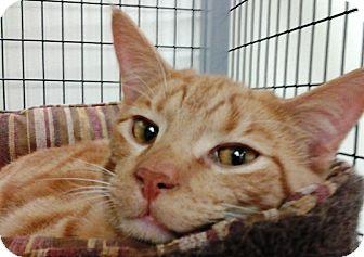 Domestic Shorthair Cat for adoption in Kalamazoo, Michigan - Concord