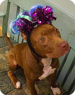 American Pit Bull Terrier/Labrador Retriever Mix Puppy for adoption in Houston, Texas - Jewel
