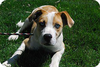 Australian Shepherd Mix Puppy for adoption in Twin Falls, Idaho - Blue