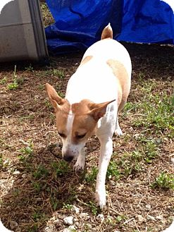 Jack Russell Terrier/Terrier (Unknown Type, Small) Mix Dog for adoption in Homestead, Florida - Sophie (betty)