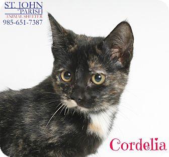 Domestic Shorthair Cat for adoption in Laplace, Louisiana - Cordelia