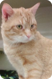 Domestic Shorthair Cat for adoption in Hillside, Illinois - Troy-SUPER SWEET & FRIENDLY