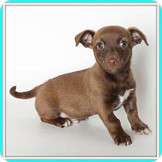 Corgi/Chihuahua Mix Dog for adoption in Glendale, Arizona - Guru