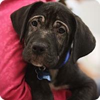 Adopt A Pet :: Shade - Minneapolis, MN