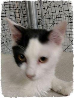 Domestic Shorthair Kitten for adoption in Pueblo West, Colorado - Iris