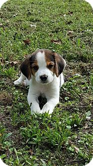 Beagle Mix Puppy for adoption in Franklin, Virginia - Peanut