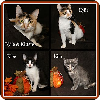 Domestic Shorthair Cat for adoption in Marietta, Ohio - Kylie & Kittens