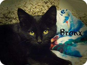 Domestic Shorthair Cat for adoption in Defiance, Ohio - Bronx