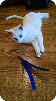 Domestic Shorthair Cat for adoption in Concord, North Carolina - Levi