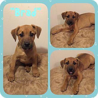 German Shepherd Dog/Labrador Retriever Mix Puppy for adoption in thomson, Georgia - Brad