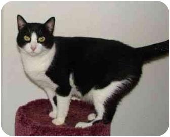 Domestic Shorthair Cat for adoption in Chepachet, Rhode Island - Henry