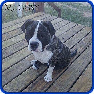 American Bulldog Mix Dog for adoption in DeForest, Wisconsin - Muggsy