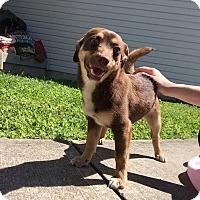 Adopt A Pet :: Misty - Baltimore, MD