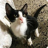 Adopt A Pet :: Diesel - N. Billerica, MA