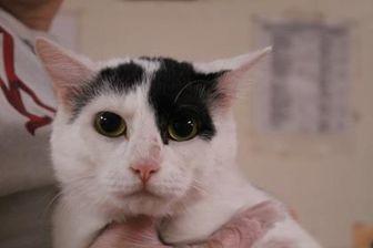 Domestic Shorthair/Domestic Shorthair Mix Cat for adoption in Daytona Beach, Florida - Drako