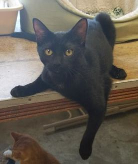 Domestic Shorthair/Domestic Shorthair Mix Cat for adoption in Larned, Kansas - Sebastian