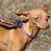 Italian Greyhound/Chihuahua Mix Dog for adoption in Helotes, Texas - Lucy