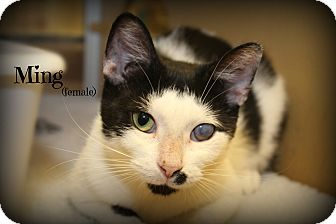 Domestic Shorthair Cat for adoption in Glen Mills, Pennsylvania - Ming