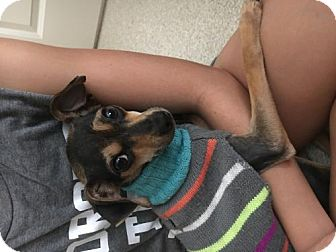 Chihuahua/Italian Greyhound Mix Dog for adoption in Alpharetta, Georgia - Sury