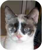 Siamese Cat for adoption in Arlington, Virginia - London