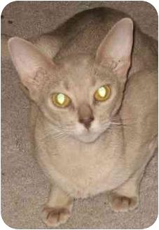 Abyssinian Cat for adoption in Davis, California - Piaf