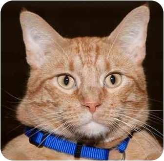 Domestic Shorthair Cat for adoption in Olive Branch, Mississippi - Nemo