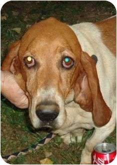 Basset Hound Mix Dog for adoption in Hagerstown, Maryland - Bentley