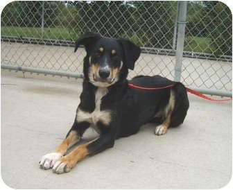 Siberian Husky/Labrador Retriever Mix Dog for adoption in Austin, Minnesota - Angel