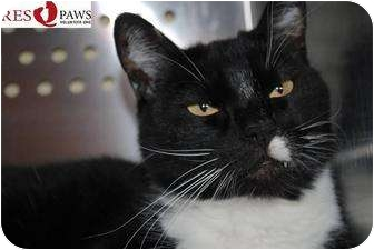 Domestic Shorthair Cat for adoption in Yuba City, California - *Key (Unknown Age, URGENT!)