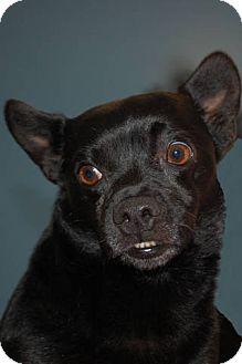 Boston Terrier/Chihuahua Mix Dog for adoption in Lexington, Kentucky - Cosmos