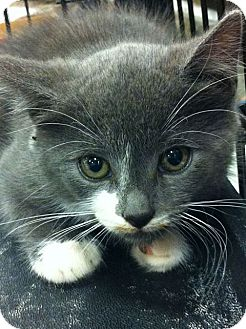 Domestic Shorthair Kitten for adoption in Pittstown, New Jersey - Yang