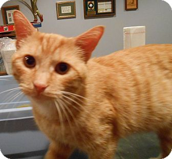 Domestic Shorthair Cat for adoption in Cincinnati, Ohio - Fuego Fred