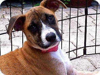 Beagle/Pointer Mix Puppy for adoption in Miami, Florida - Myrtle
