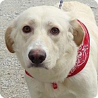 Adopt A Pet :: Snowball - Plainfield, CT