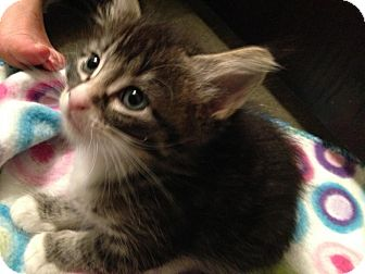 Domestic Shorthair Kitten for adoption in Des Moines, Iowa - Eliza