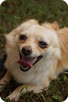 Chihuahua/Pomeranian Mix Dog for adoption in Newark, Delaware - Little Fox