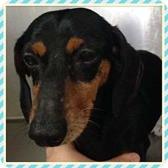 Dachshund Mix Dog for adoption in Greenfield, Wisconsin - HUDSON
