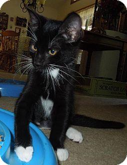Domestic Shorthair Kitten for adoption in HILLSBORO, Oregon - Mollie