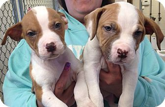 Pit Bull Terrier Mix Puppy for adoption in Greensburg, Pennsylvania - Gotti