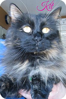 Domestic Longhair Cat for adoption in Menomonie, Wisconsin - Kit
