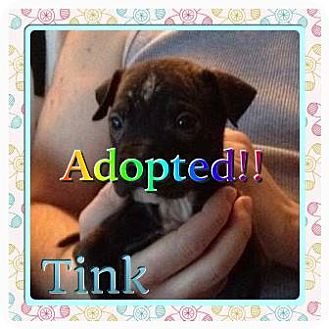 Pit Bull Terrier Puppy for adoption in Kenmore, New York - Tink