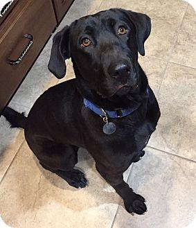 Labrador Retriever Dog for adoption in Phoenix, Arizona - Dixie